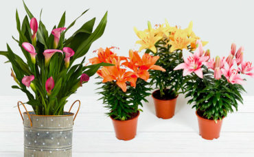 Srirama Lilies and Bulbous Plants