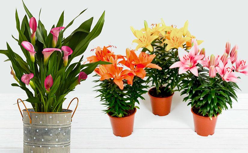 Srirama Lilies and Bulbous Plants